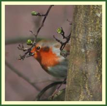 Robin on unfurling hawthorn